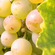 PiWi - wertvoll im Weinbau