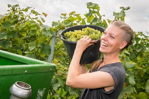 Einladung zur Traubenlese im Weingut Schönhals am 15.9.2018