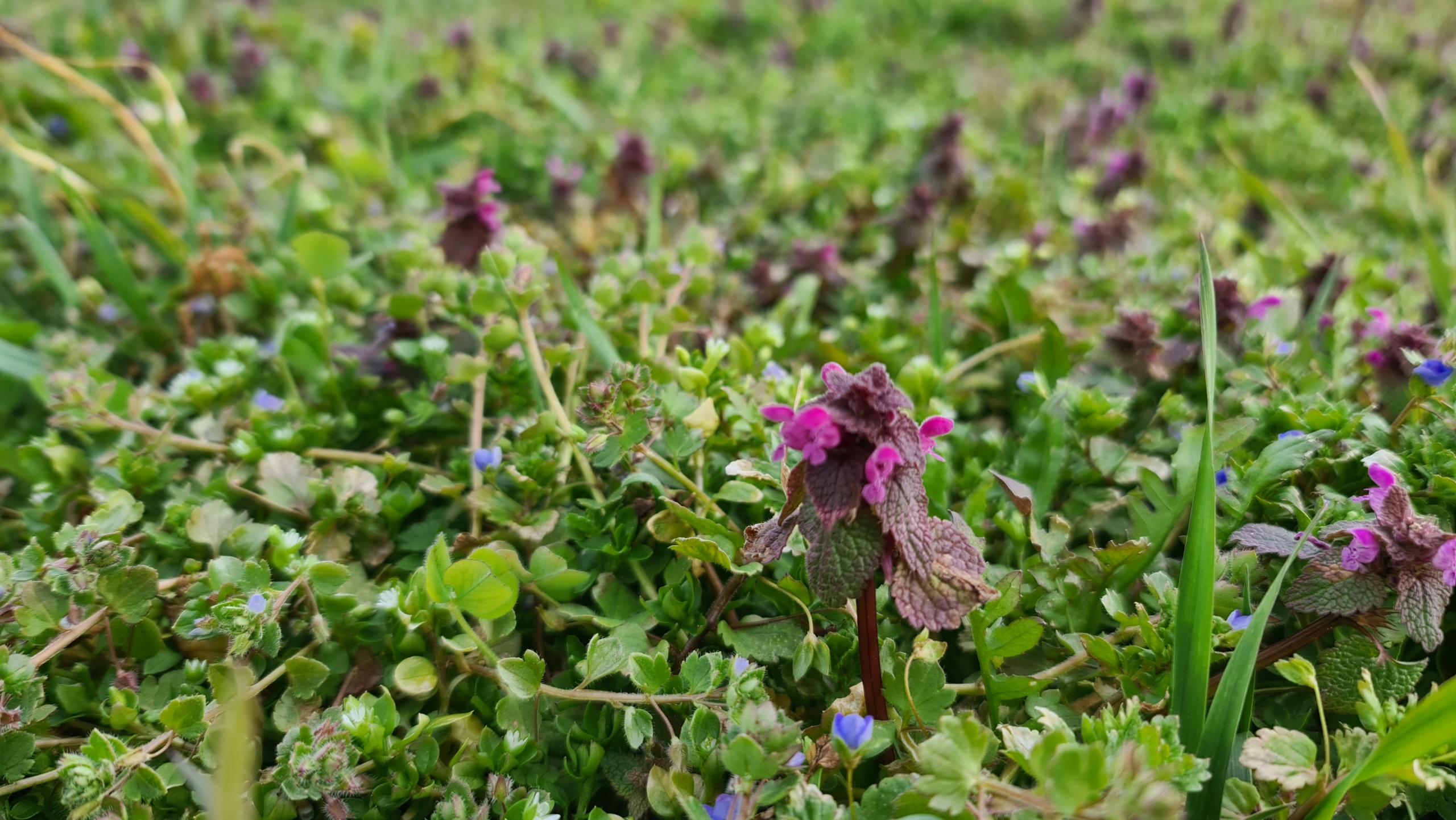 Frühlingsboten im Weinberg